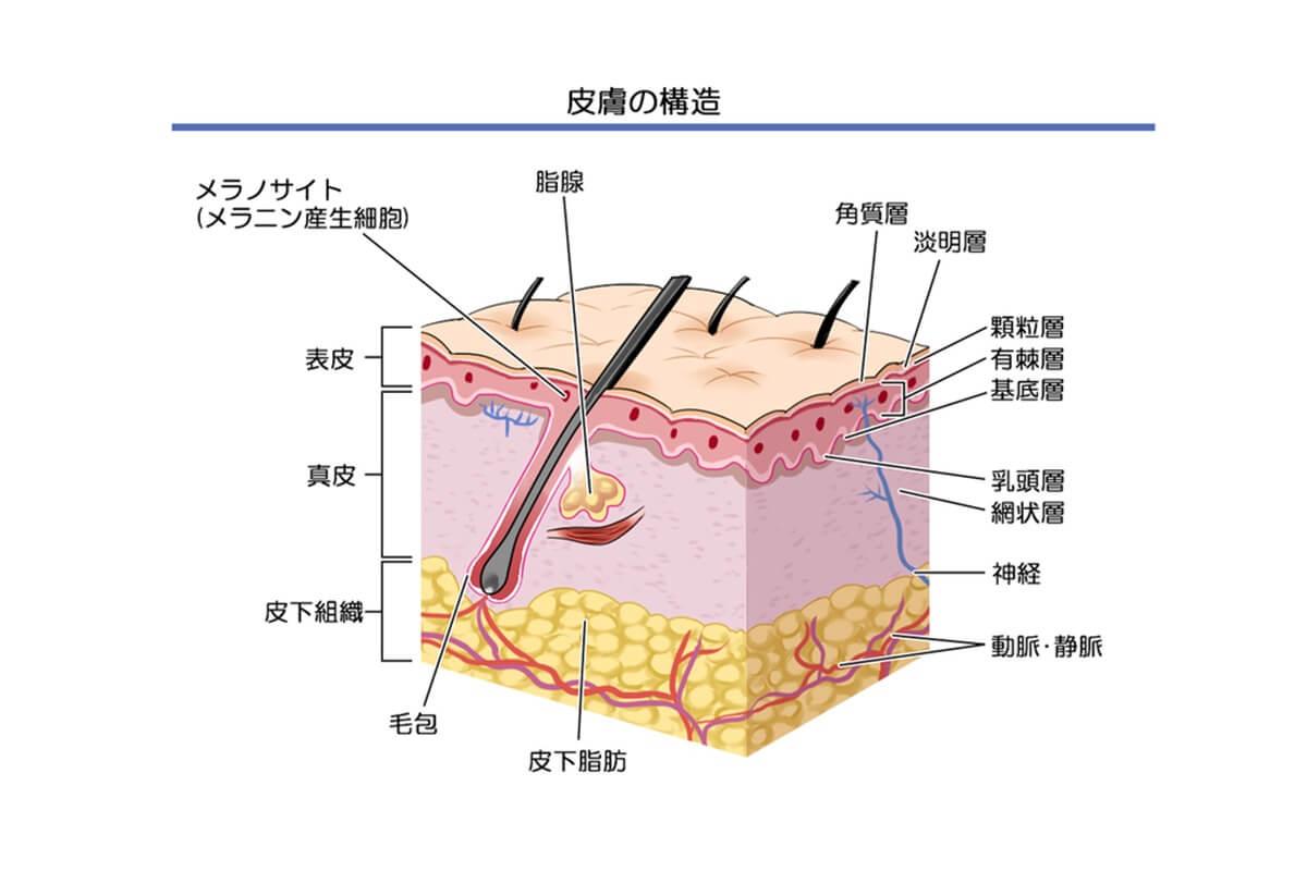 肌の基礎知識 皮膚の働き