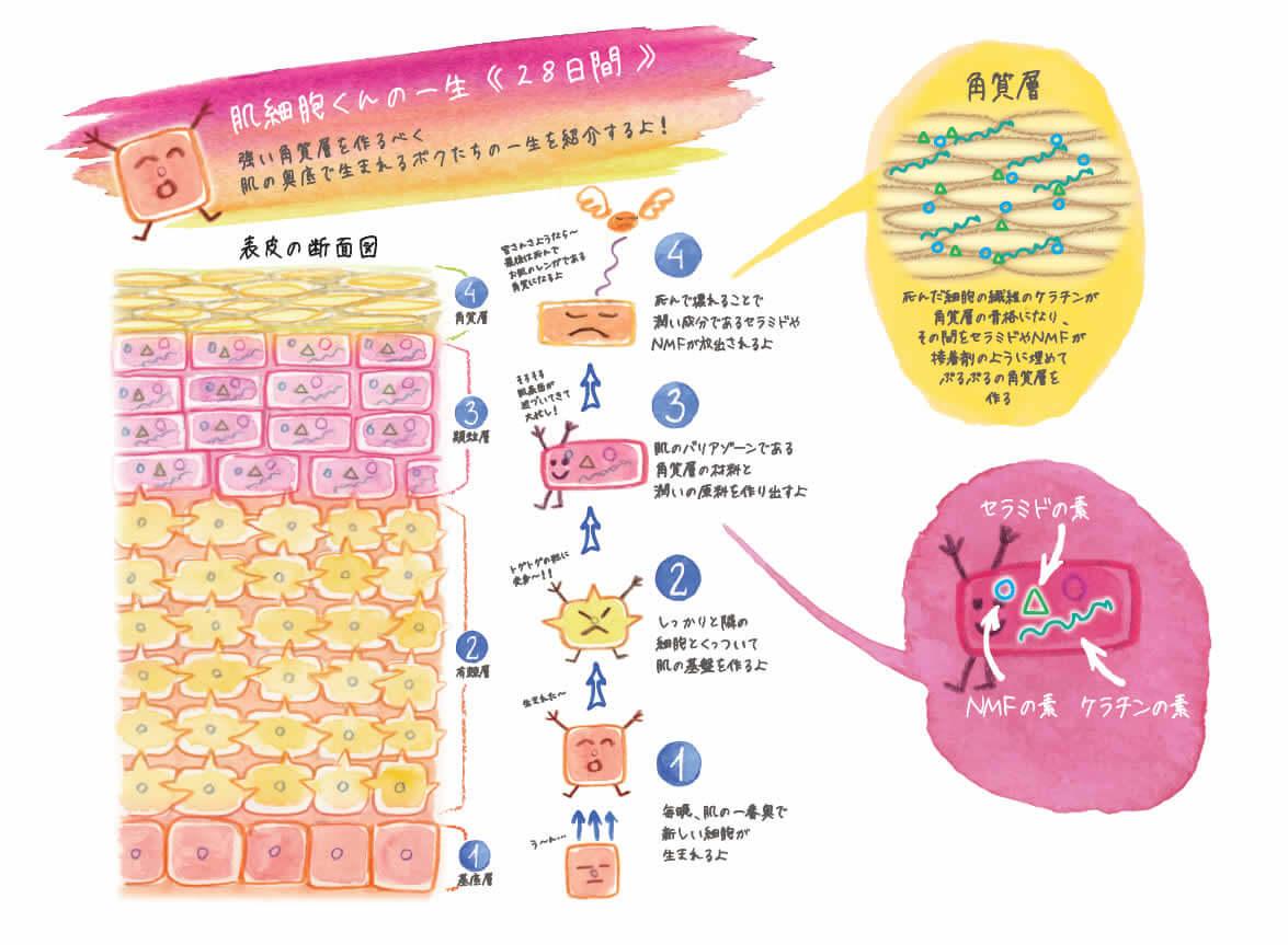 HANAオーガニック 細胞 エイジングケア インタビュー