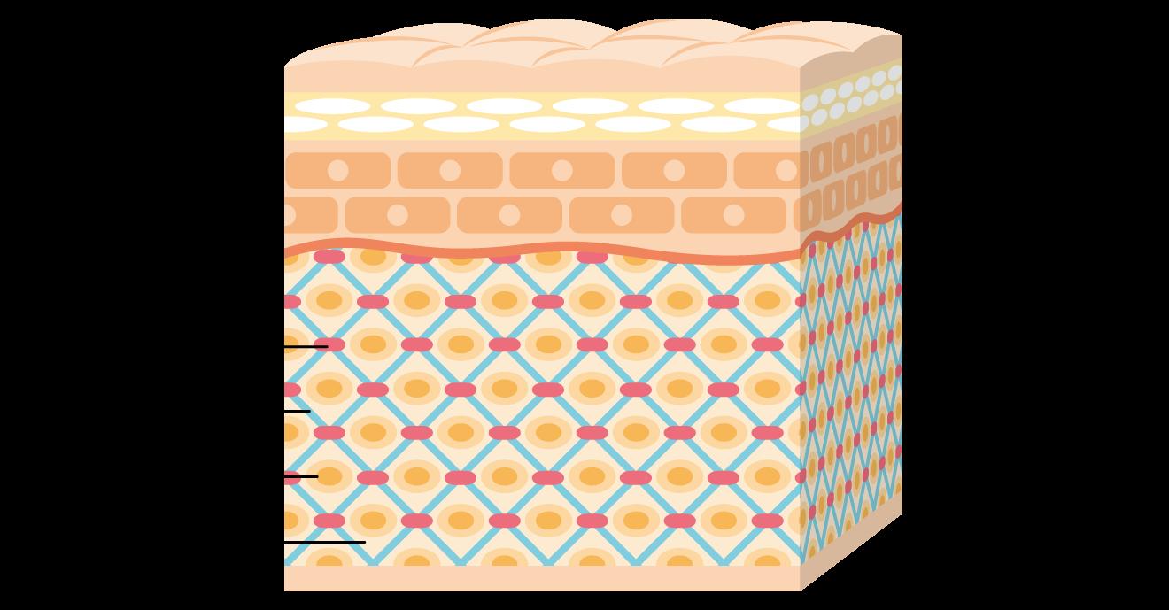 乾燥肌 敏感肌 保湿成分 エラスチン